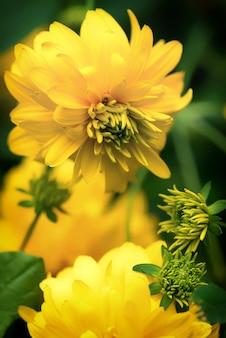 Красивые летние садовые цветы рудбекия золотые шары
