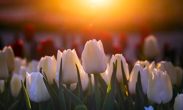 美しい夏の風景、日没時に白いチューリップが咲く