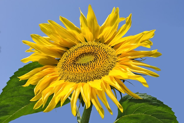Beautiful sunflower against the blue sky flowers and plants