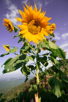 Beautiful sunflower are blooming with sky blue
