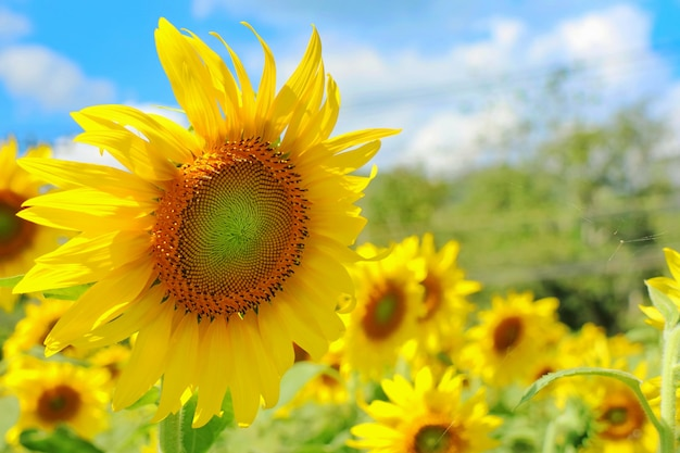 Beautiful sunflower blooming with sunflower garden, big tree and blue sky.