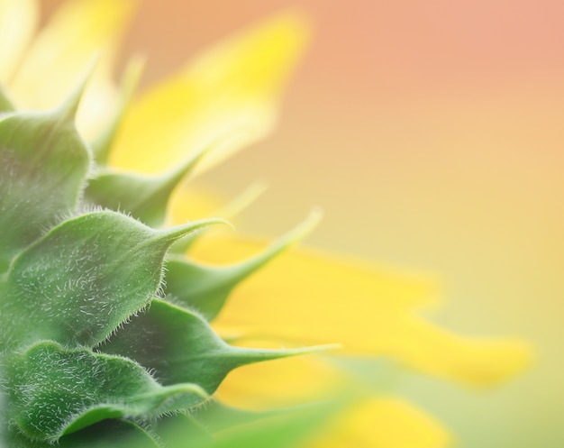 Beautiful sunflower on blurred background for create fortune greeting card