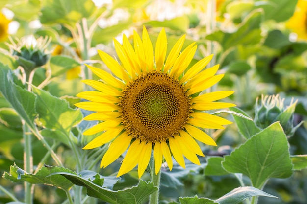 Beautiful of sunflower field blooming