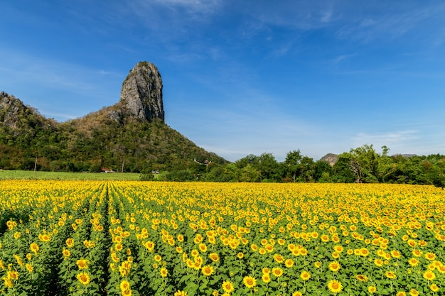 Красивое поле подсолнечника летом с голубым небом в провинции лопбури, таиланд