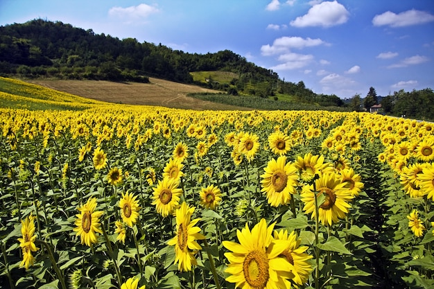 햇빛과 푸른 하늘 아래 나무와 언덕으로 둘러싸인 아름다운 해바라기 밭