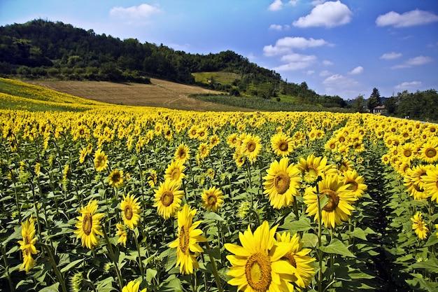 Bellissimo campo di girasoli circondato da alberi e colline sotto la luce del sole e un cielo blu