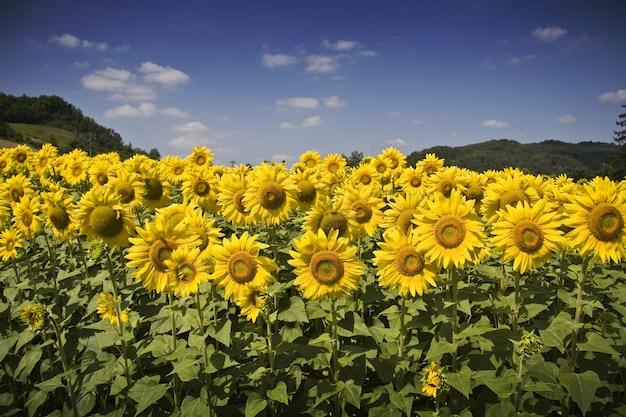 낮에는 햇빛과 푸른 하늘 아래 아름다운 해바라기 밭