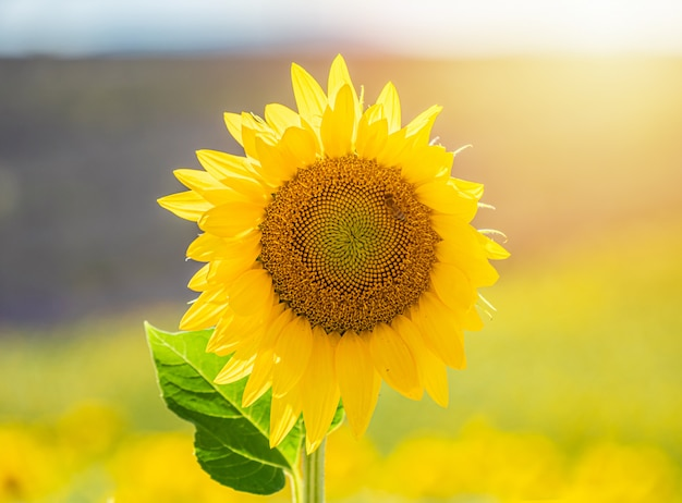 Beautiful sunflower in a field in valensole, provence