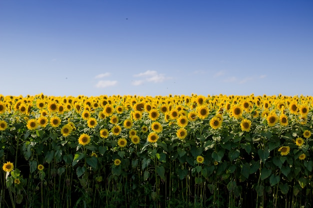 Beautiful sunflower field with a clear blue sky