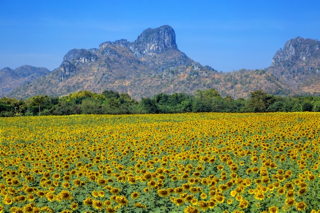 Beautiful sunflower field with mountains