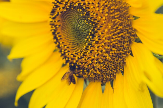 The beautiful sunflower field.