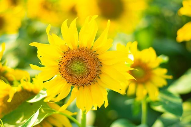 Beautiful sunflower in garden