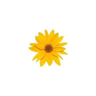 Beautiful sunflower head with yellow petals a isolated on white background