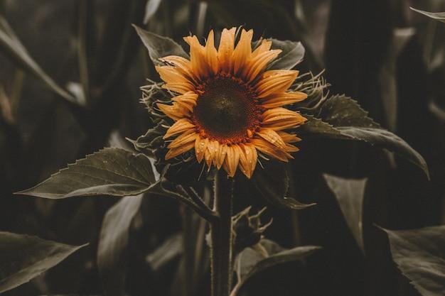 Красивый подсолнух в цвету