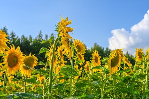 유럽의 푸른 하늘과 함께 여름에 해바라기 밭에 있는 아름다운 해바라기. 해바라기 재배.