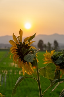 Beautiful sunflower and rice field over sunset with mountain on background