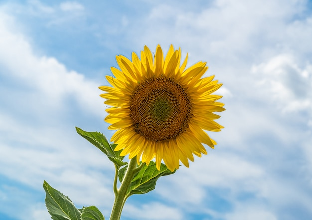 Beautiful sunflower with a cloudscape