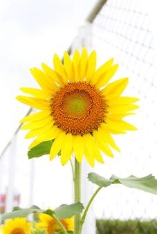 Beautiful sunflower.