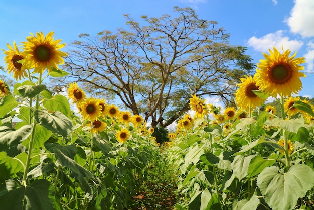 Beautiful sunflowers blooming in sunflower garden, big tree and blue sky. nature background concept.