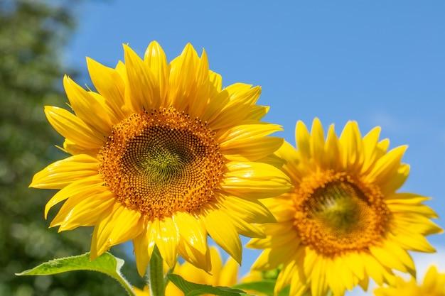 Beautiful sunflowers and blue sky