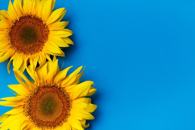 Beautiful sunflowers on blue
