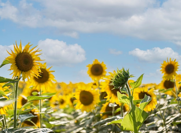Beautiful sunflowers in the field, natural background. sunflower blooming