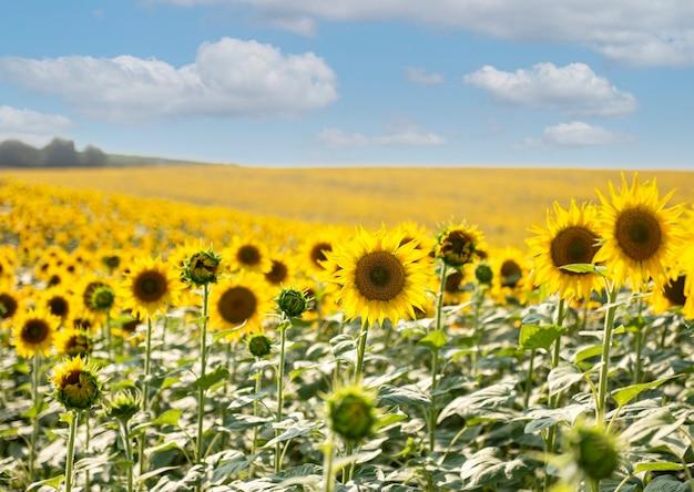 Красивые подсолнухи в поле, естественный фон. цветение подсолнечника
