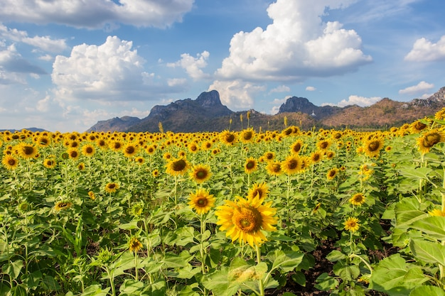 Beautiful sunflowers and the plant of sunflower
