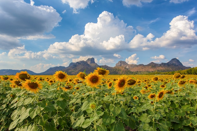 Beautiful sunflowers in spring field and the plant of sunflower
