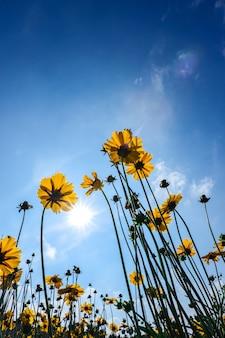 태양이 있는 푸른 하늘 아래 아름다운 해바라기는 자연 배경을 위해 빛난다