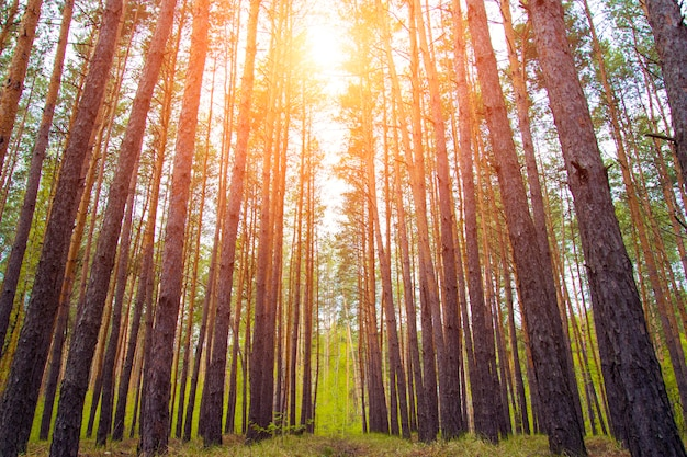 Красивый солнечный свет пробивается сквозь стволы хвойных деревьев в лесу.