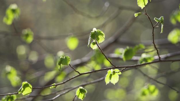 아름 다운 맑은 녹색 활기찬 자연 4k 비디오 bokeh 추상적인 배경. 어린 첫 잎사귀와 나뭇가지를 통해 투명한 일몰 뒤 햇빛이 있는 신선한 봄 나무의 초점을 잃은 잎