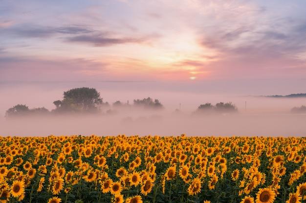 Красивый восход солнца с туманом над полем подсолнухов, летний сельскохозяйственный пейзаж