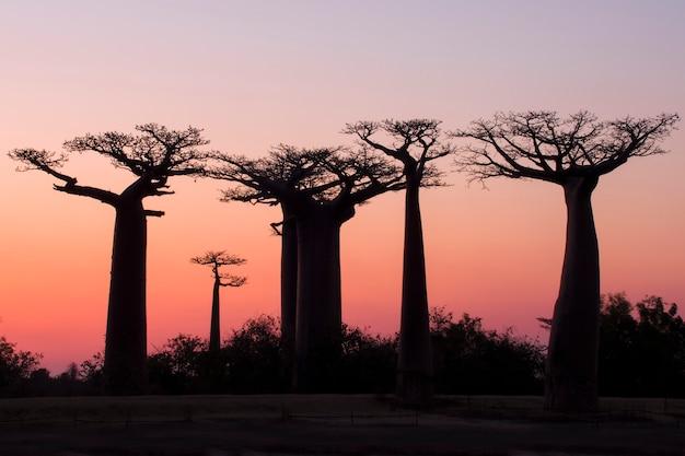 Красивый закат аллея баобабов. мадагаскар. африке