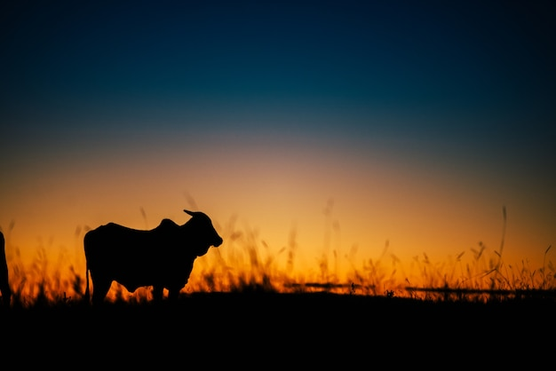Beautiful sunset and cow