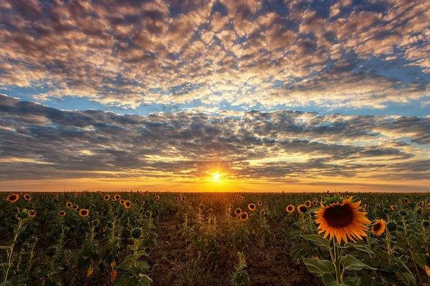美しい雲と太陽と、ひまわり畑に沈む夕陽