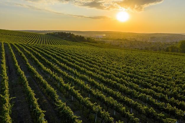 栽培されたブドウの木のある緑の丘に沈む美しい夕日