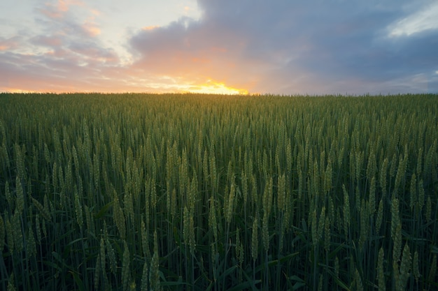 Beautiful sunset sky over green rye field in calm rural area