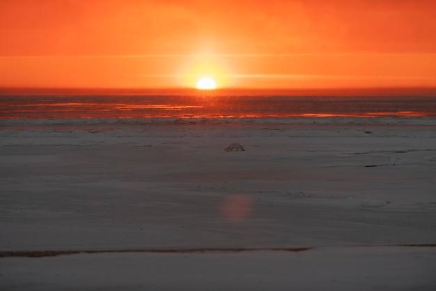 Красивый закат с туманом в арктическом море. песец на льду.