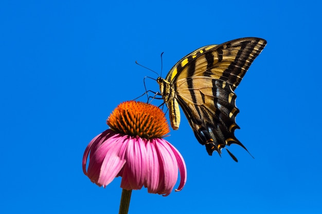 Beautiful swallowtail butterfly with blue sky