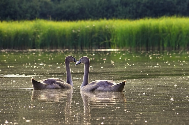 美しい白鳥は池で鳥。野生動物との美しい自然の色の背景。春。