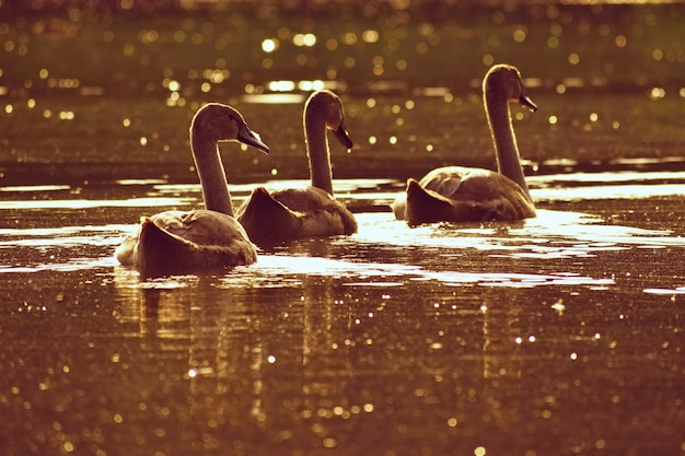 Beautiful swan cubs at the pond. beautiful natural colored background with wild animals. springtime.