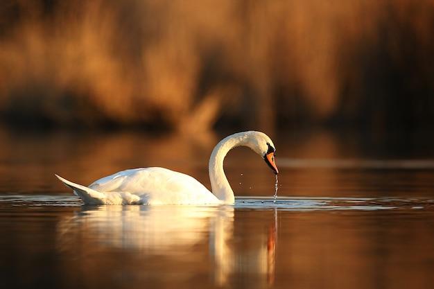Красивый лебедь на озере удивительная птица в естественной среде обитания