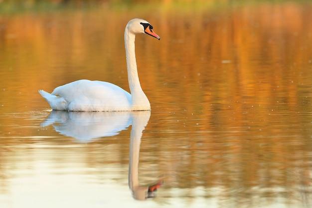 自然の生息地で湖の素晴らしい鳥の美しい白鳥