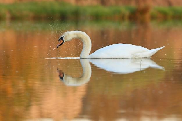 자연 서식지에서 호수 놀라운 새에 아름다운 백조