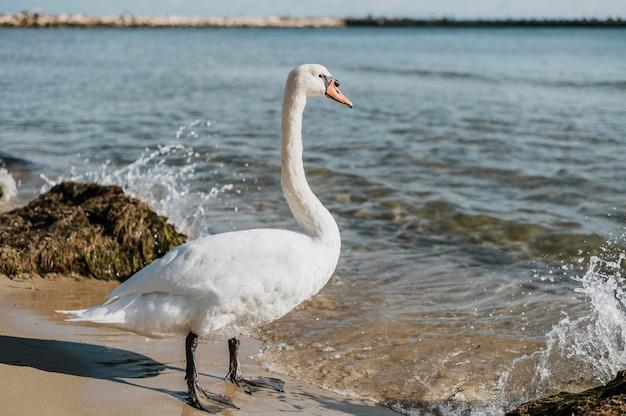 Красивый лебедь на берегу