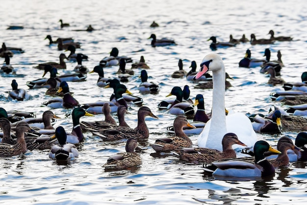 晴れた冬の日にアヒルに囲まれた美しい白鳥が水に群がる