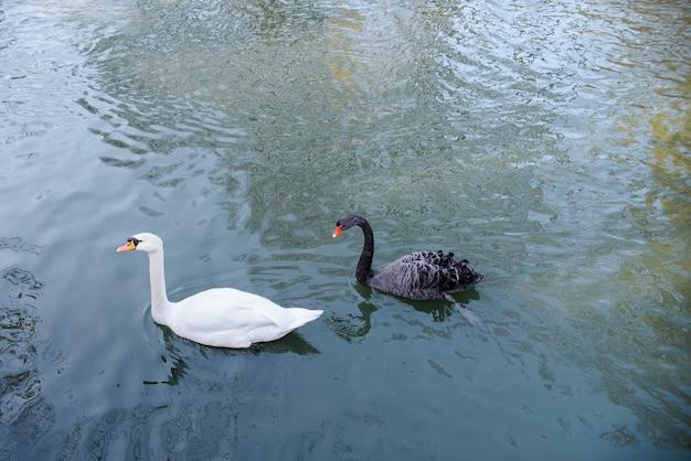 美しい白鳥が公園の池で泳ぎます。黒と白の白鳥のカップルの肖像画。