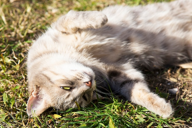 Beautiful tabby cat in the blooming meadow. cat basks in the spring sun and shows her tummy. beautiful european cat in the grass