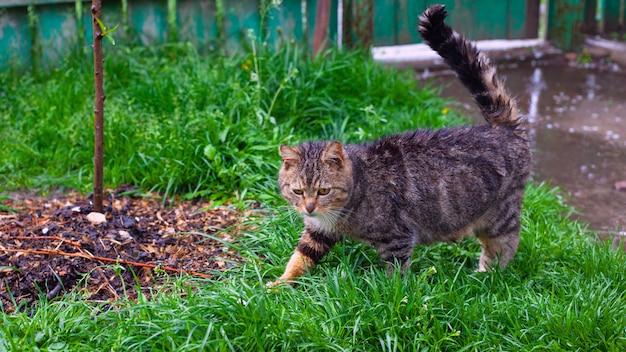 美しいトラ猫が緑の芝生の上を歩きます。